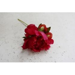Piwonia 30 cm