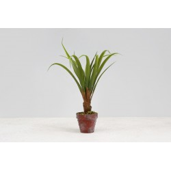 Yucca w doniczce 45 cm.
