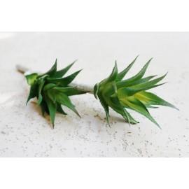 Sukulent Aloe Vera 600